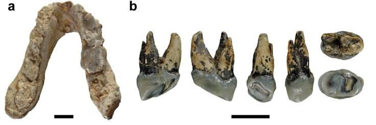 graecopithecus-fuss-mandible-p4.jpg