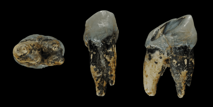 Graecopithecus_tooth.png