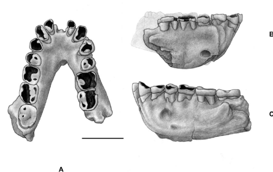 Ouranopithecus-macedoniensis-late-Vallesian-MN-10-Macedonia-Greece-Mandible-of